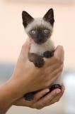 trochę cenny siamese kota obraz royalty free