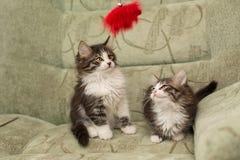 trochę dwa kociaki zdjęcia royalty free