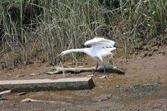 trochę egret obraz stock