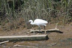 trochę egret fotografia stock