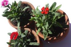 trochę flowerpots barwioni kwiaty obrazy royalty free