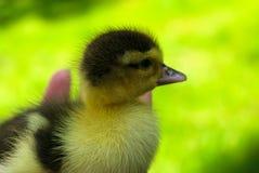 Trochę jeden kaczątko na zielonej trawie obraz royalty free