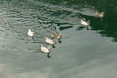 trochę kaczki Obrazy Royalty Free