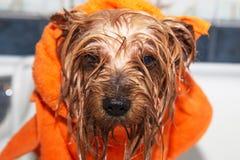 Trochę mokry Yorkshire terier z pomarańczowym ręcznikiem Obrazy Stock