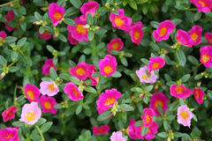 Trochę hogweed kwiaty Fotografia Stock