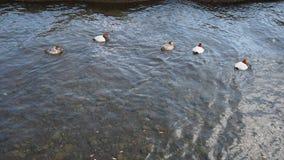 trochę kaczki Zdjęcie Royalty Free