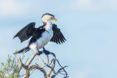trochę kormoranów pied Obraz Stock