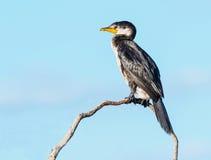 trochę kormoranów pied Zdjęcia Royalty Free