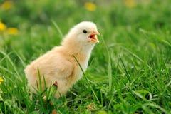 trochę kurczaka Obrazy Royalty Free
