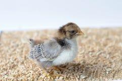 trochę kurczaka Obraz Stock