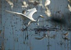 trochę ptasi egret Zdjęcie Stock