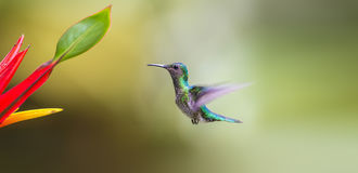 Trochilidae Stock Photography