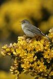 Певчая птица вербы, trochilus Phylloscopus Стоковое Изображение
