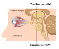 Trochlear and Abducens nerves Stock Images