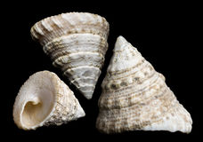 Trochus seashell Royalty Free Stock Photo