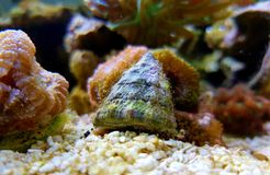 Free Trochus Snail Saltwater Aquarium Invertebrate Royalty Free Stock Photography - 167740187