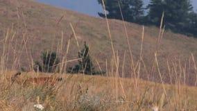 Trocken gloden Gräser im frong eines Rotwilds, das auf dem Gebiet geht stock video footage