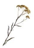Trockenblume der gemeiner Schafgarbe Stockbilder