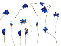 Trockenblume von Hepatica Stockfotos