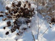 Trockenblumekopf umfasst im Schnee Stockbilder