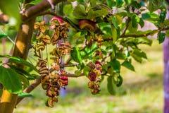 Trockene Äpfel Stockbilder