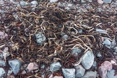 Trockene Algen auf der Küste des Barentssees, Varanger-Halbinsel, Finnmark, Norwegen Stockfotos