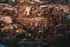 Trockene alte Barke einer natürlichen Beschaffenheit des Suppengrüns Stockbild