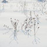 Trockene Anlage bedeckt mit Schnee und Frost auf dem Gebiet Lizenzfreie Stockfotografie