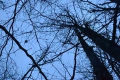 Trockene Bäume und Herbstniederlassungen im Gegensatz zu dem blauen Sonnenunterganghimmel Lizenzfreie Stockbilder