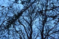 Trockene Bäume und Herbstniederlassungen im Gegensatz zu dem blauen Sonnenunterganghimmel Stockbild