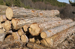 Trockene Bäume und Stapel Koniferenbauholz in einem Berg Lizenzfreie Stockfotos