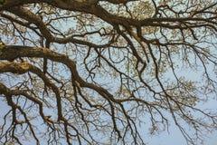 Trockene Baumaste gegen blauen Himmel, toter Baum Stockfotografie
