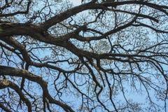 Trockene Baumaste gegen blauen Himmel, toter Baum Lizenzfreie Stockfotos