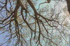Trockene Baumaste gegen blauen Himmel, toter Baum Lizenzfreie Stockfotografie