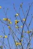 Trockene Baumaste mit gelben Blumen und tiefem blauem Himmel Lizenzfreie Stockbilder