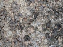 Trockene Baumrindebeschaffenheit Lizenzfreies Stockbild