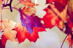 Trockene Blätter des roten Ahornholzes Lizenzfreie Stockfotografie