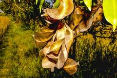 Trockene Blätter von Jambolan, dieses Foto ist eine Fotowirksamkeit verliehen worden, zum es einem Ölgemälde ähneln zu lassen stockfotos