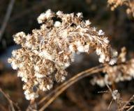Trockene Blume im Winter Stockfotos