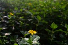 Trockene Blumen in einer Wiese bedeckt mit den grünen Blättern, wohlriechend Stockfotos