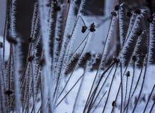 Trockene Blumen im Frost Stockfotografie