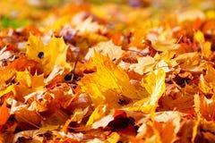Trockene braune und gelbe Ahornblätter Lizenzfreies Stockfoto