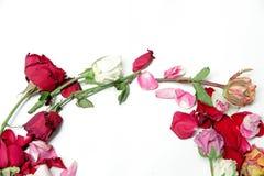 Trockene bunte Rosen auf weißem Hintergrund Stockfoto