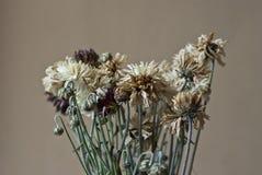 Trockene Chrysanthemen-Blumen Lizenzfreie Stockbilder