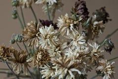 Trockene Chrysanthemen-Blumen Stockbilder