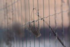Trockene Distel und ein Zaun Stockfoto