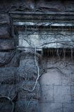 Trockene Efeuanlage auf der Wand stockfoto