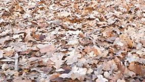 Trockene Eichenbl?tter aus den Grund stock footage