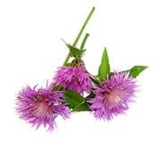Trockene empfindliche Blätter der Flockenblume und Blumenblätter des neuen Acker-Stiefmütterchens Lizenzfreie Stockfotografie