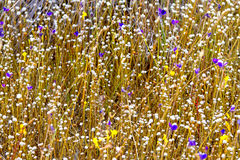 Trockene Eriocaulon smitinandii Blume Stockbilder